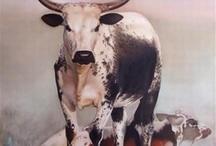 Nguni Cows
