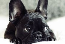 frenchbully