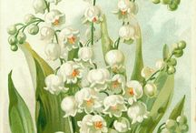 Convallaria (Lily-of-the-Valley)