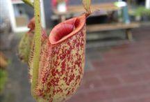carnivora plant