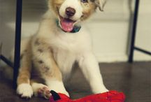 Australian Shepherd / by Hot Dog Collars