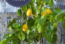 citrus & other fruit trees