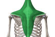 Vállövi mozgásokat létrehozó izmok / - nyakizmok: m. sternocleidom. - thoracohumeralis: m. pect. min. et maj., m. settatus ant., m. subcl. - spinohumeralis: m.trap., m. lat. dorsi., mm. rhomboidei, m. levator scap.