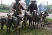Scottish Deerhounds / Big,and grey