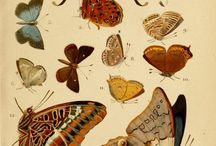 Butterflies & Insects (Illustrations)