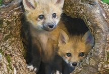 Foxes!!! / Foxes in the Wild!