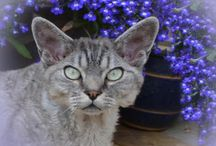 wibaeva / Devon Rex Cat