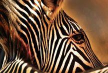 African wildlife sketches & prints