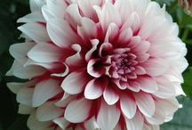 Nature - Flowers - Dahlias / One of my favorite flowers