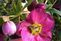 Helleborus - rose di natale / Fiori chiamati genericamente 'rosa di Natale' per la fioritura precoce invernale, a catalogo anche sul vivaio online http://shop.unquadratodigiardino.it/