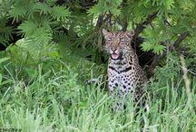 Shadow (Female leopard)