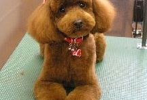 Poodle hairstyles / Poodles