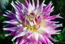 """Dahlia - Semi Cactus / The word dahlia means """"plant with tube- like stems"""". With a blast of different colors, shapes and sizes, Dahlias bring life and beauty back to your landscape in late summer and into the fall months."""
