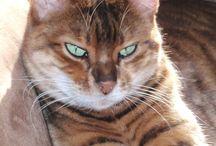 Toyger / Cat
