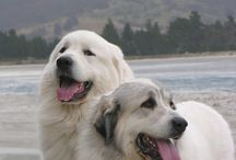 Great Pyrenees