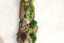 Tillandsia/szakáll bromélia/air plant