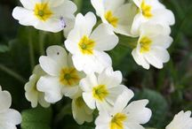 PRIMROSE / Primula vulgaris is a species of flowering plant in the family Primulaceae, native to western and southern Europe, northwest Africa, and southwest Asia. Wikipedia