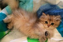 Baby Golden / Chaton Arthoria british longhair