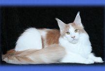 Maine Coon - Cream Tabby Mackerel & White / #MaineCoon #Cream #Tabby #Mackerel #White #Cats
