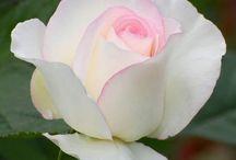 Roses - Rosor
