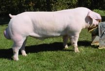 Razas porcinas / Genética porcina