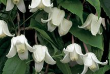 Plant Clematis