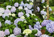 Plant Spotlight: Hydrangeas / What southern garden is complete without this garden headliner? 'Big Daddy' Hydrangea blooms brighten in spring while our Dear Dolores™ variety reblooms spring through fall. / by Southern Living Plant Collection