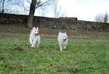 Siberian Husky / My dogs