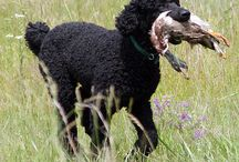 The Poodle / The poodle is a group of formal dog breeds, the Standard Poodle, Miniature Poodle and Toy Poodle. Originally bred in Germany as a type of water dog, the breed was standardized in France. The poodle is skillful in many dog sports, including agility, obedience, tracking, and even herding.