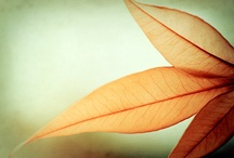 Leaf  / by Carrie Koeppen Stock