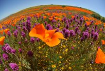 The California Poppy / Lancaster, CA is known for its beautiful poppies that blossom each spring.  Here are some of our favorite local pictures
