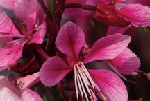 Gaura varieties from POPP / Gaura lindheimeri Crimson Butterflies,uspp 13189,copf... A compact gaura, with deep burgundy foliage and shocking pink flowers. Ideal for small gardens or containers, xericape perennial