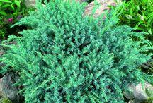 Vintergrønne hageplanter