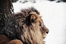 Lions & Big Cats
