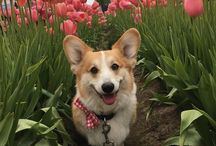 Corgis in action. Cute Corgi coats, clothes, sweaters, harnesses. My Canine Kids | Cloak & Dawggie / Pictures of cute Corgi dogs, and Corgi dog harnesses, Corgi dog coats, clothes, and accessories for Corgi dog lovers. My Canine Kids and Cloak & Dawggie.
