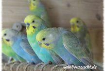 hullámos papagáj  színtábla