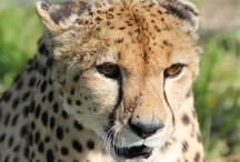 Cheetah Rescue projects