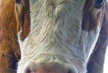 cows          marijke