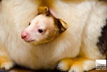 Tree Kangaroo Conservation Program / Woodland Park Zoo's flagship conservation program, the Tree Kangaroo Conservation Program, helps save Matschie's tree 'roos and their habitats in the Huon Peninsula of Papua New Guinea.  / by Woodland Park Zoo