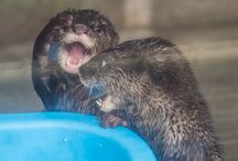 I'm an otter too / When I took a personality test, it said I was an otter. Features of an otter: loyalty, order, intelligent, enthusiastic, self-doubting, but determined. / by Sarah Dyerson