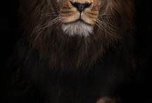 lions/leeuwen