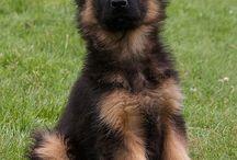 German Shepherds :)