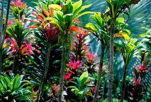 Hawaiian Tropical