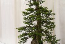 Bonsai / Inspirations for incredible bonsai, as well as great trees available at Conifer Kingdom for creating your own.