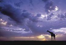 Giraffes / by Sarah Rinke