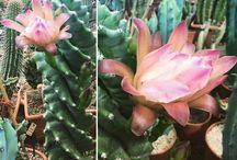 blooming cacti / Cacti, blooming,garden,