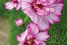 garden cosmos,peony.dahlia / by Lila Wickham