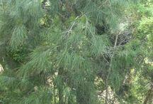 Australian Native Screening Plants / Plants for screening or windbreak function.