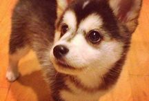Pomsky = dream dog