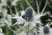 Powis Castle / Our friends the bumble bee's at Powis Castle